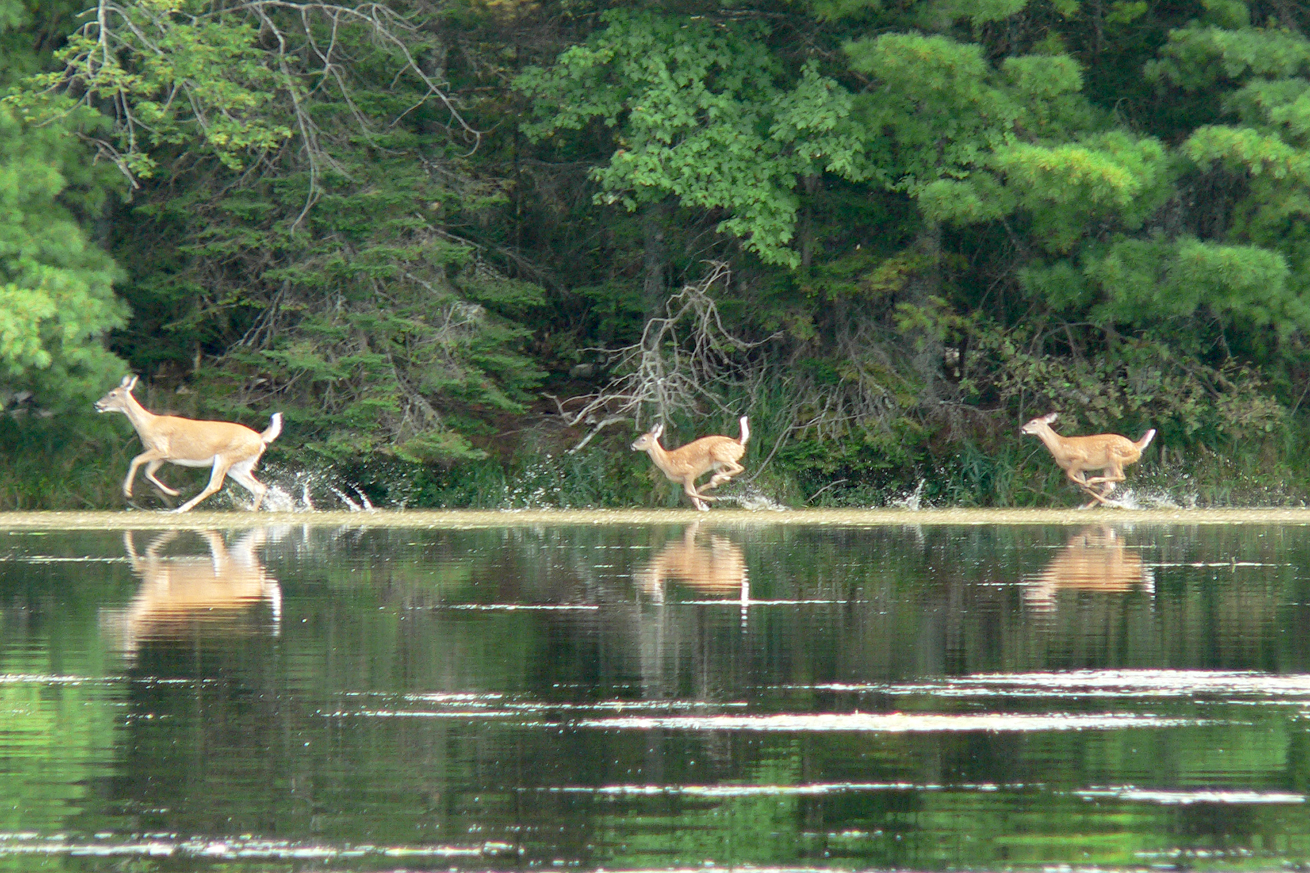 2006-09-4_lakecontent-fawns