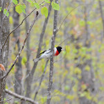 2015-05-14_stpetersdome_grosbeak