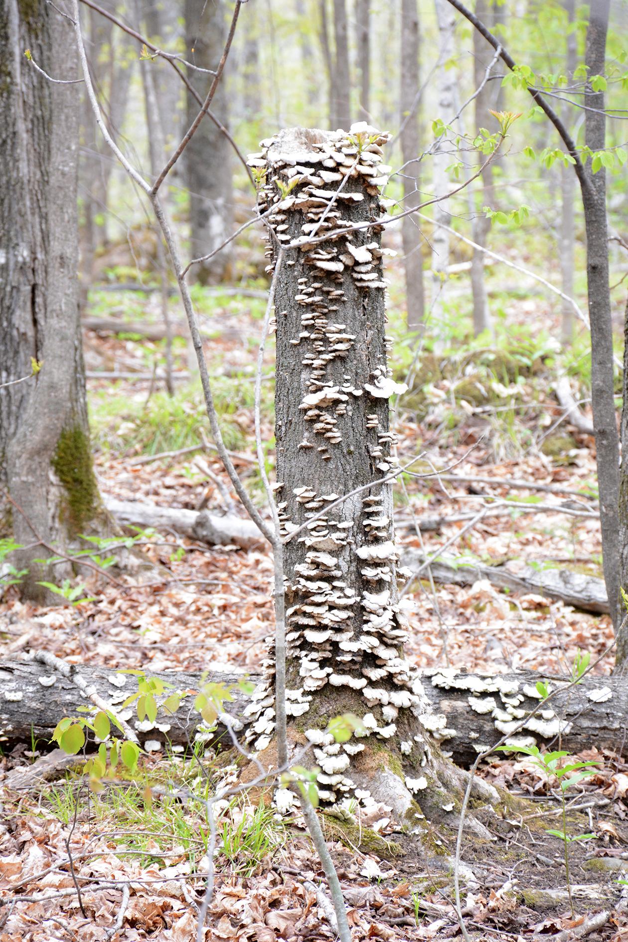 2015-05-14_stpetersdome_tree-mushroom