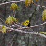 2015-05-15_copperfalls_bird-black-throatedgreenwarbler2