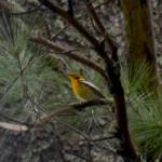 2015-05-15_copperfalls_bird-blackburnianwarbler