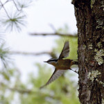 2015-05-15_copperfalls_bird-red-breastednuthatch