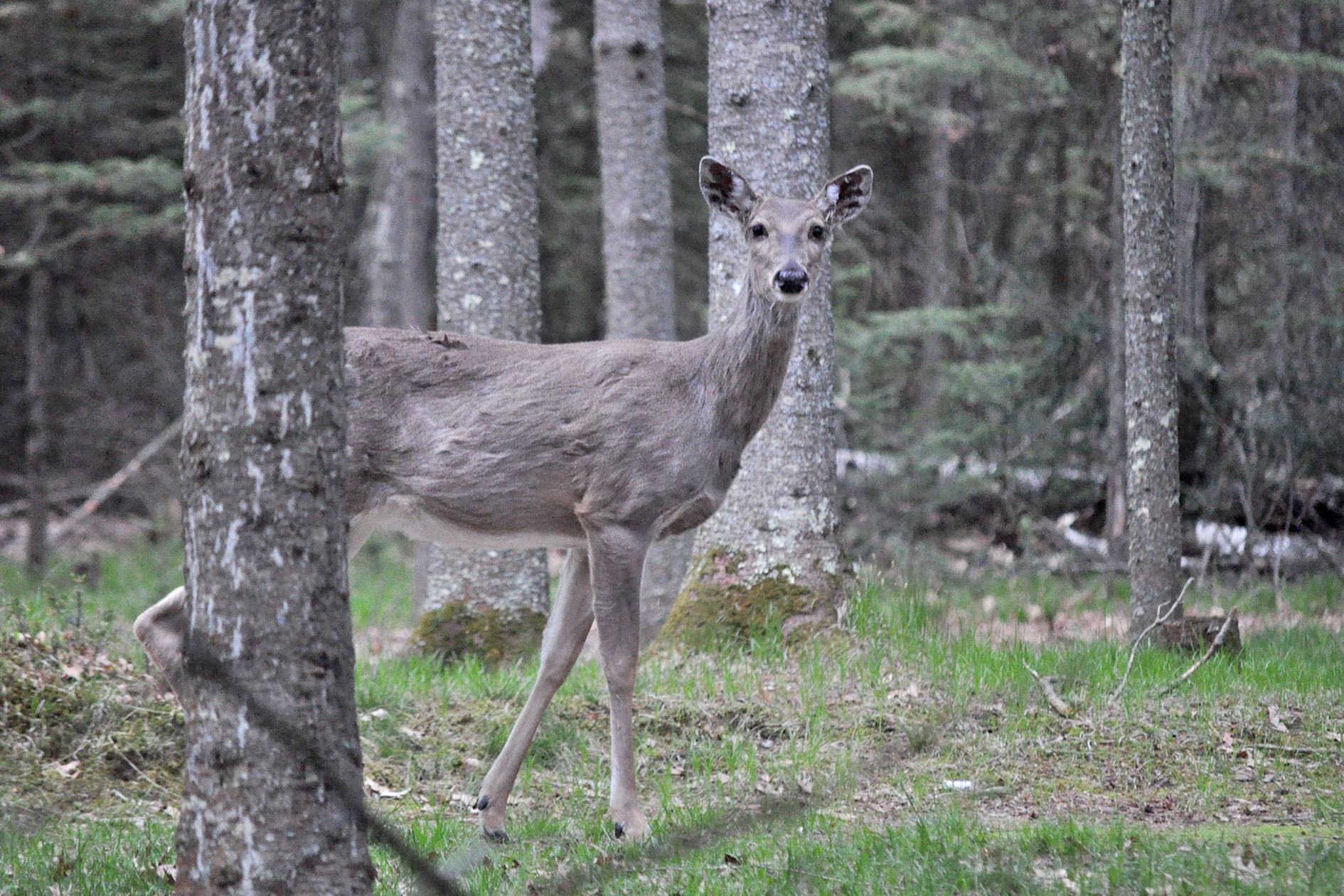 2015-05-16_cabin_deer1