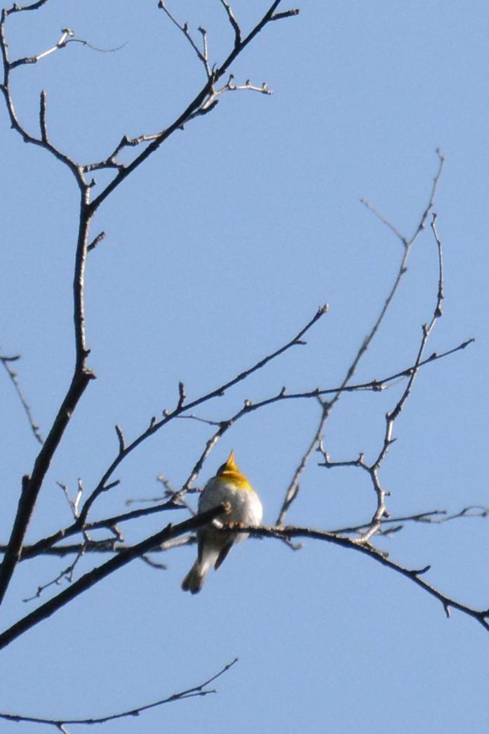 2015-05-16_stocktonisland_bird-blackburnianwarbler