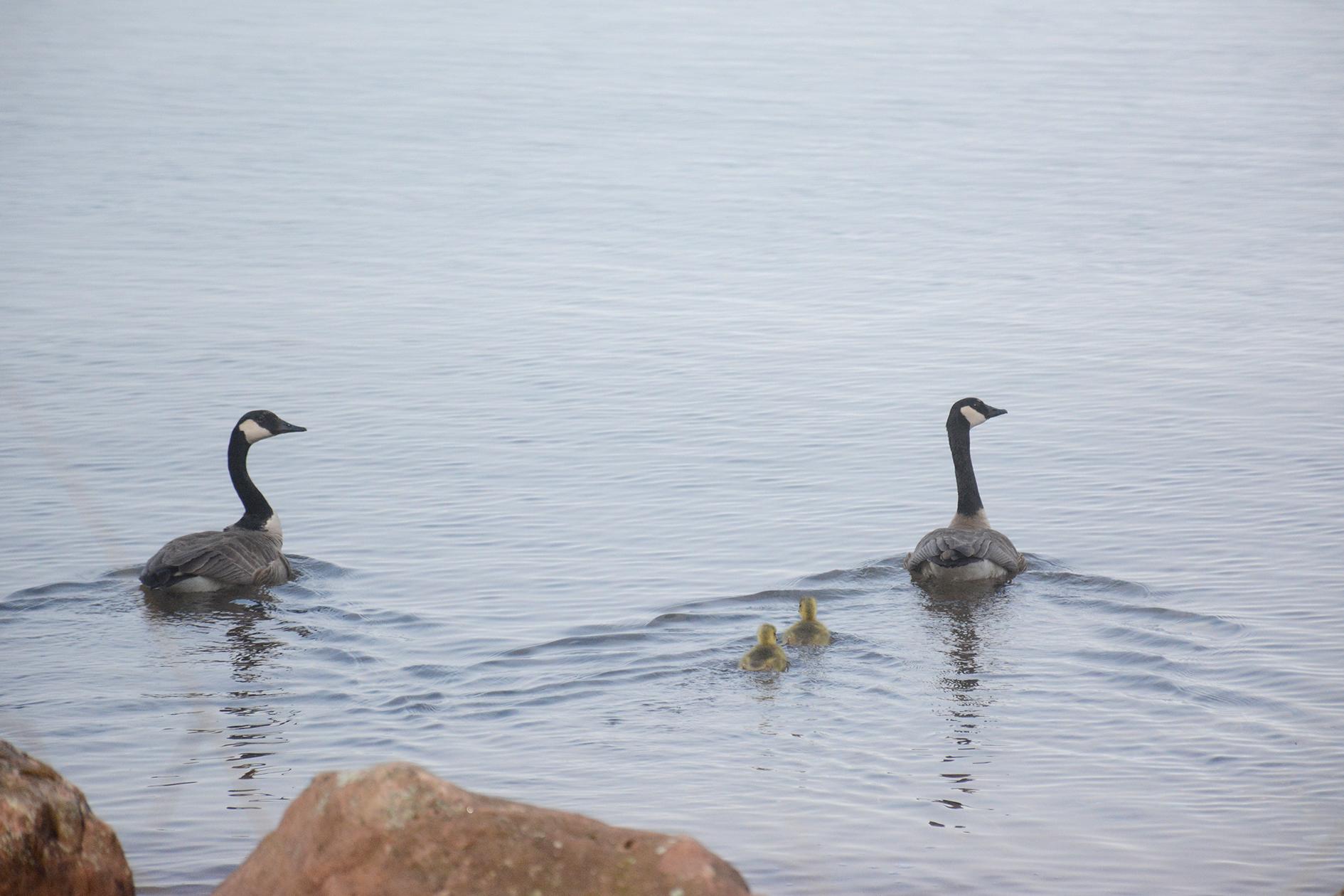 2015-05-16_stocktonisland_bird-geese