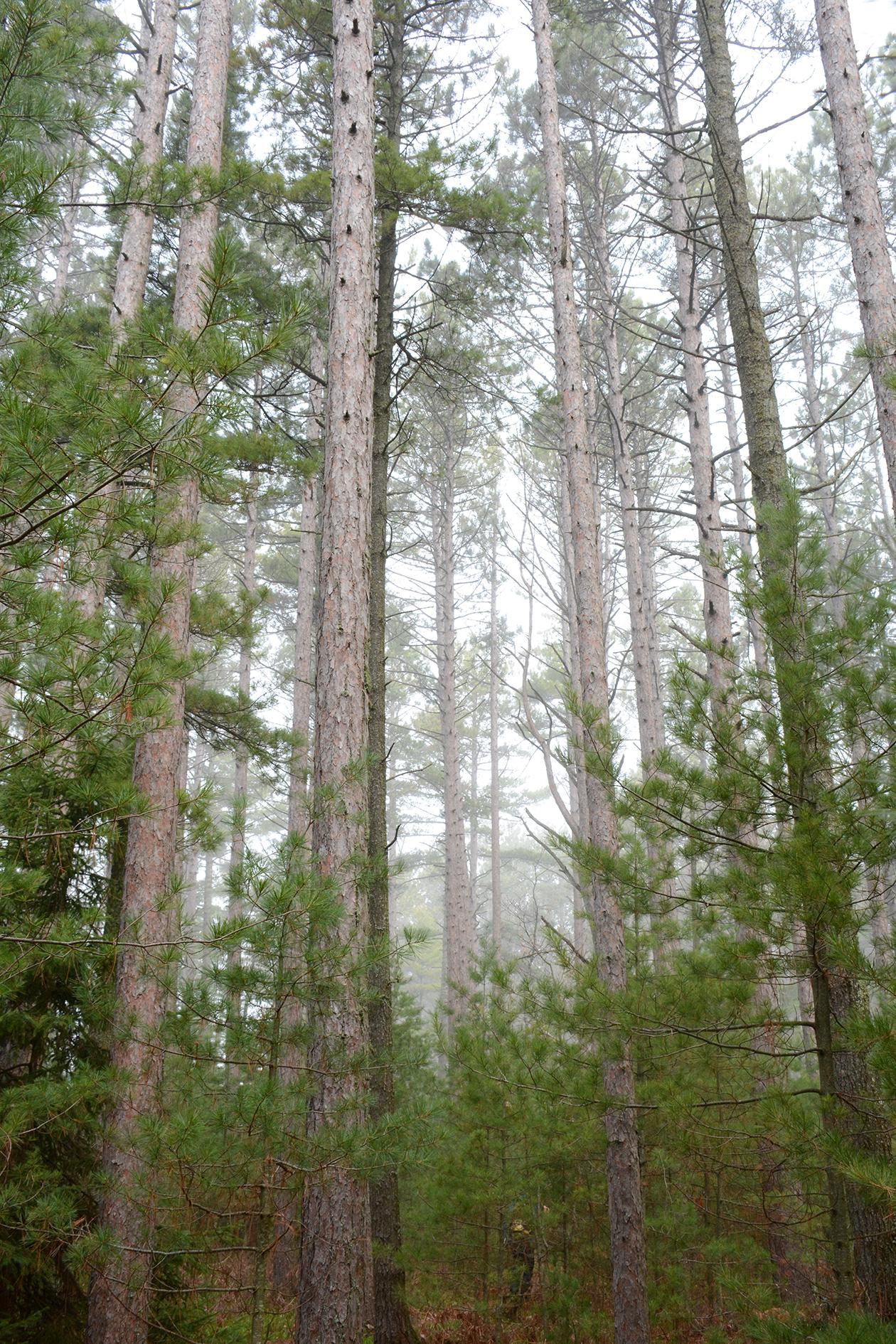 2015-05-16_stocktonisland_tree-fog