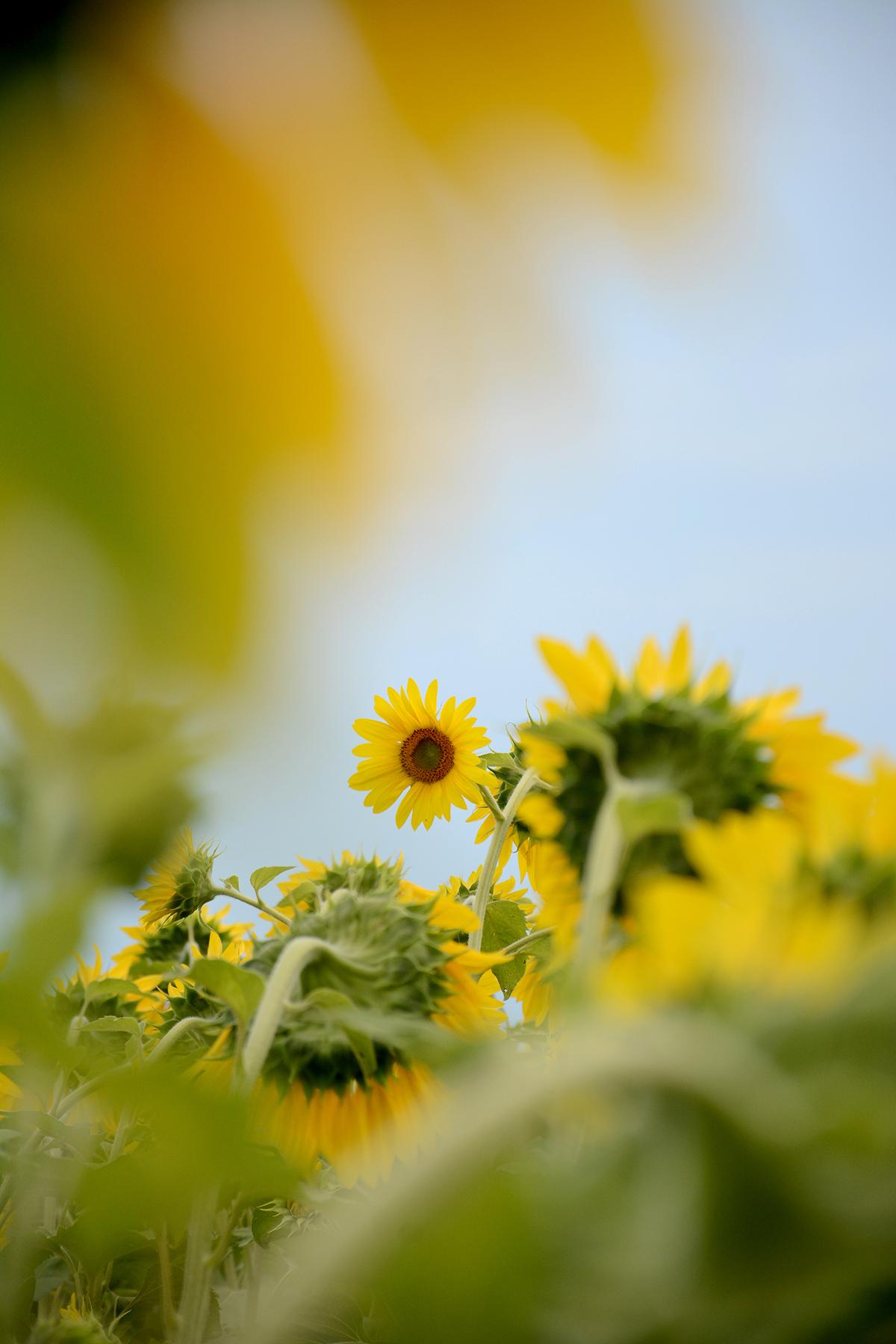 2015-08-07_Sunflower1