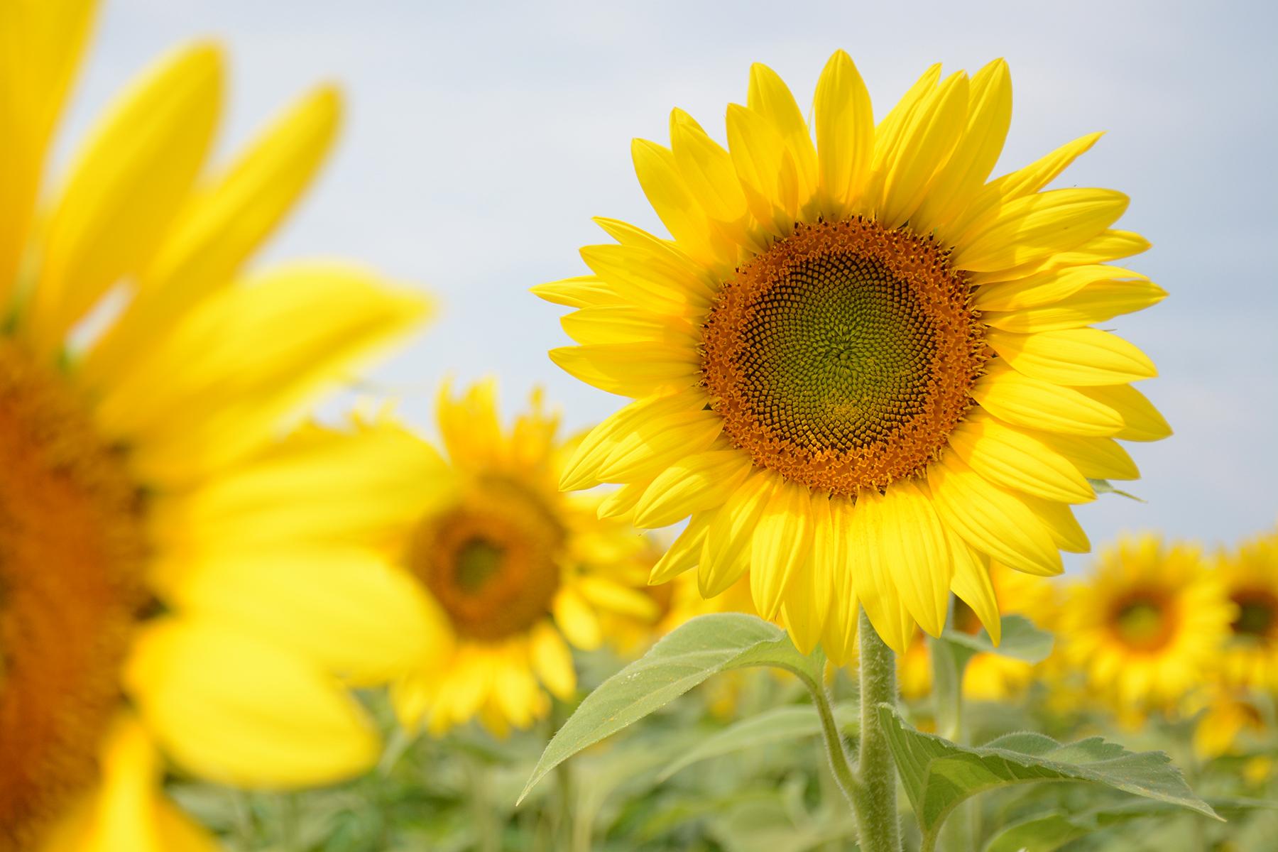 2015-08-07_Sunflower11