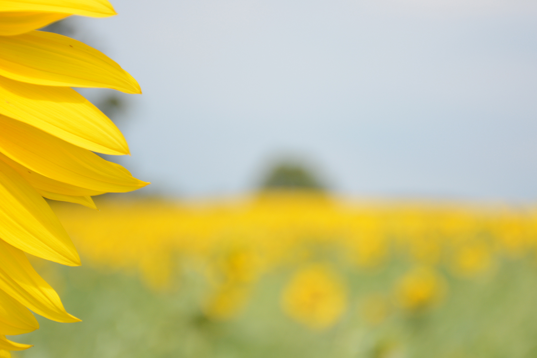 2015-08-07_Sunflower5