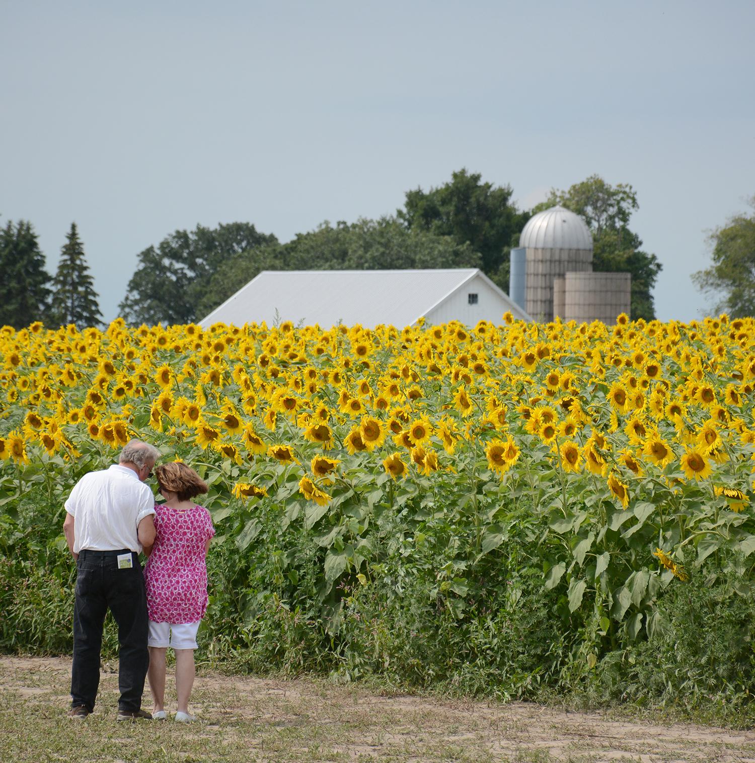 2015-08-07_Sunflower7