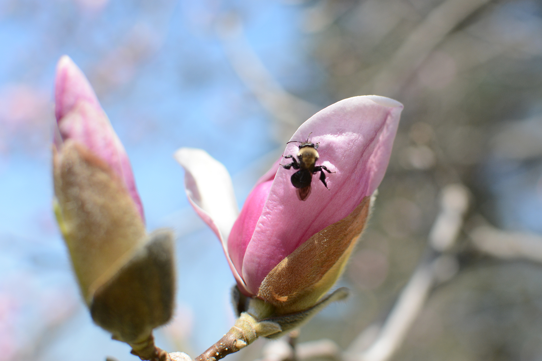 2016-04-17_backyard-tree-bee-magnolia2