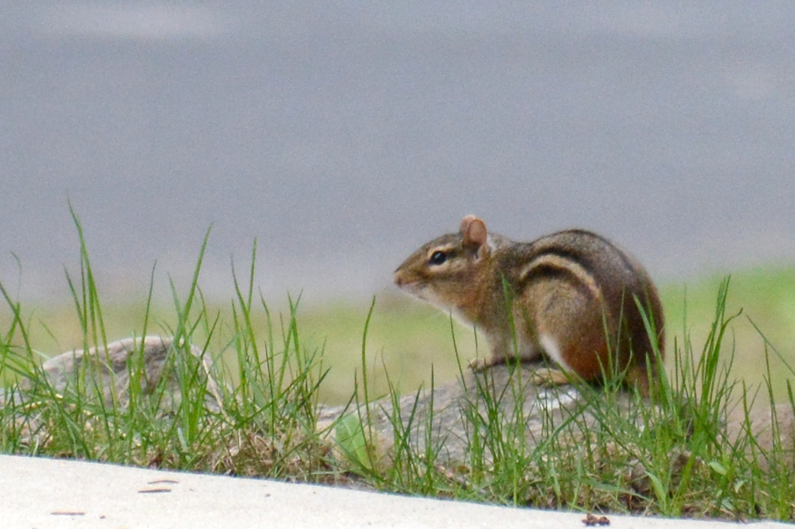 2016-04-20_backyard-chipmunk