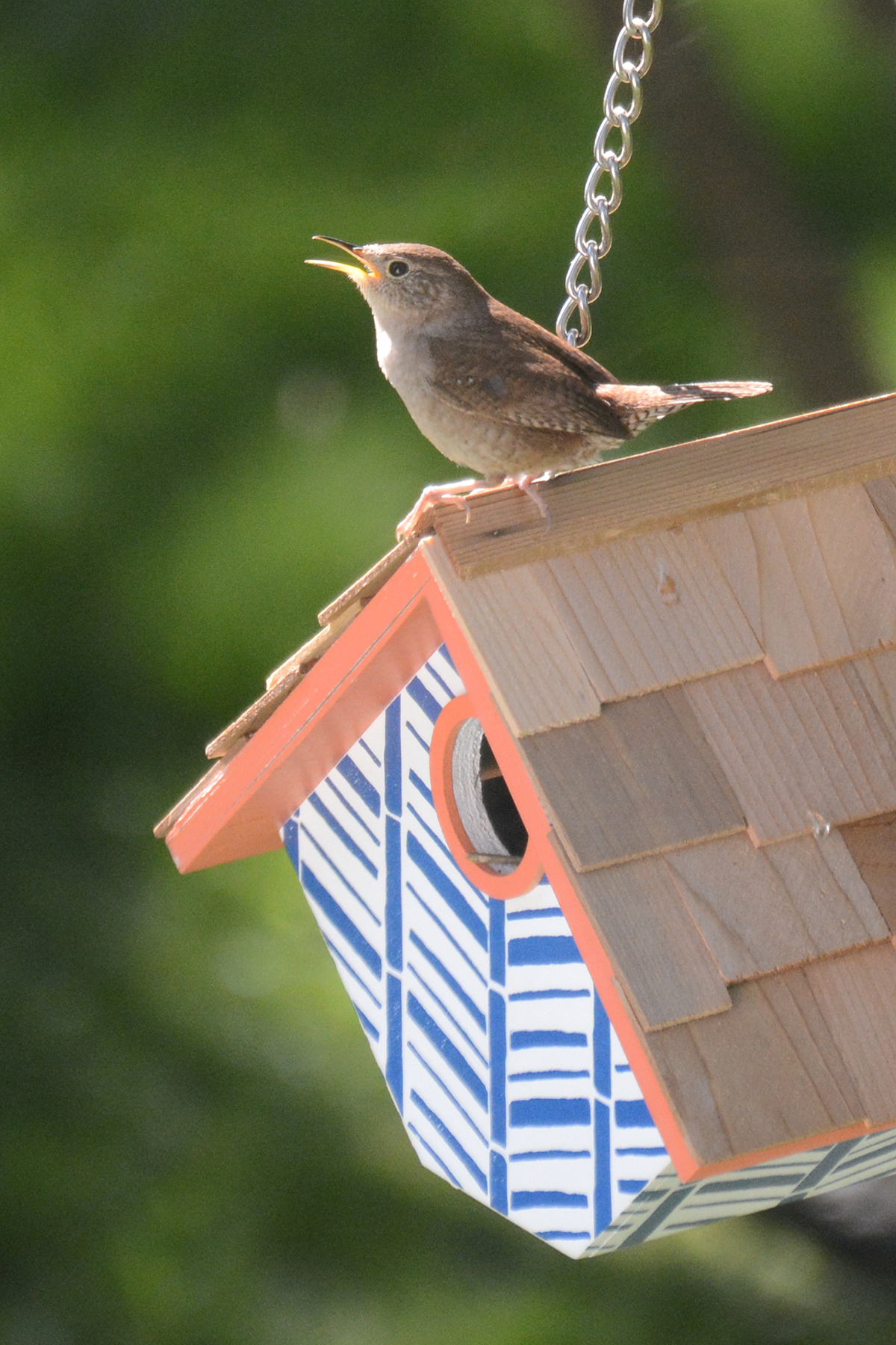 2016-05-13-backyard-wren2