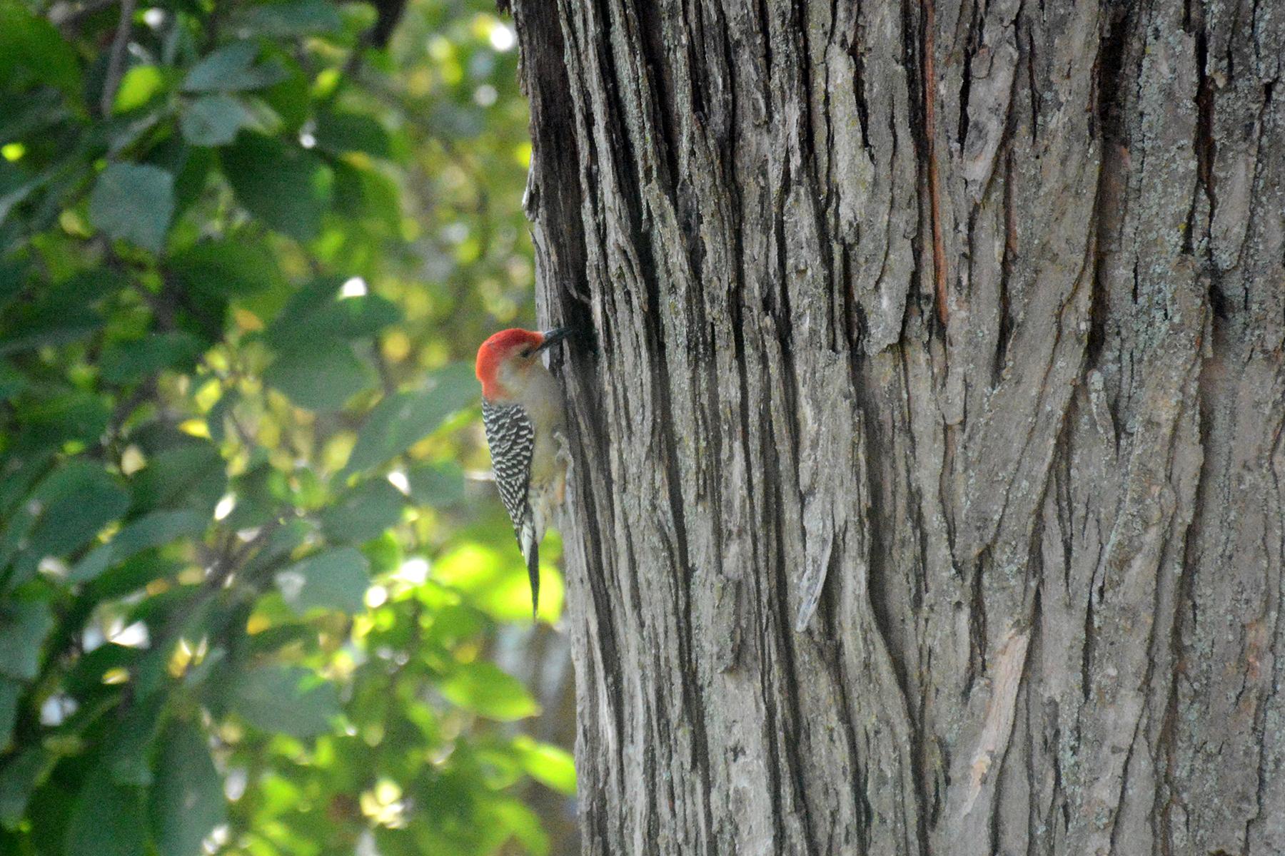 2016-10-10-backyard-redbelliedwoodpecker