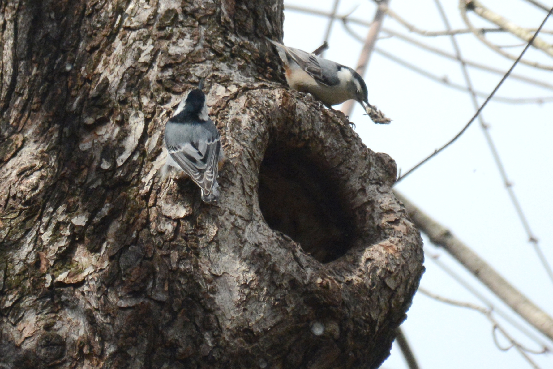 2016-04-02_backyard_nuthatch11-build