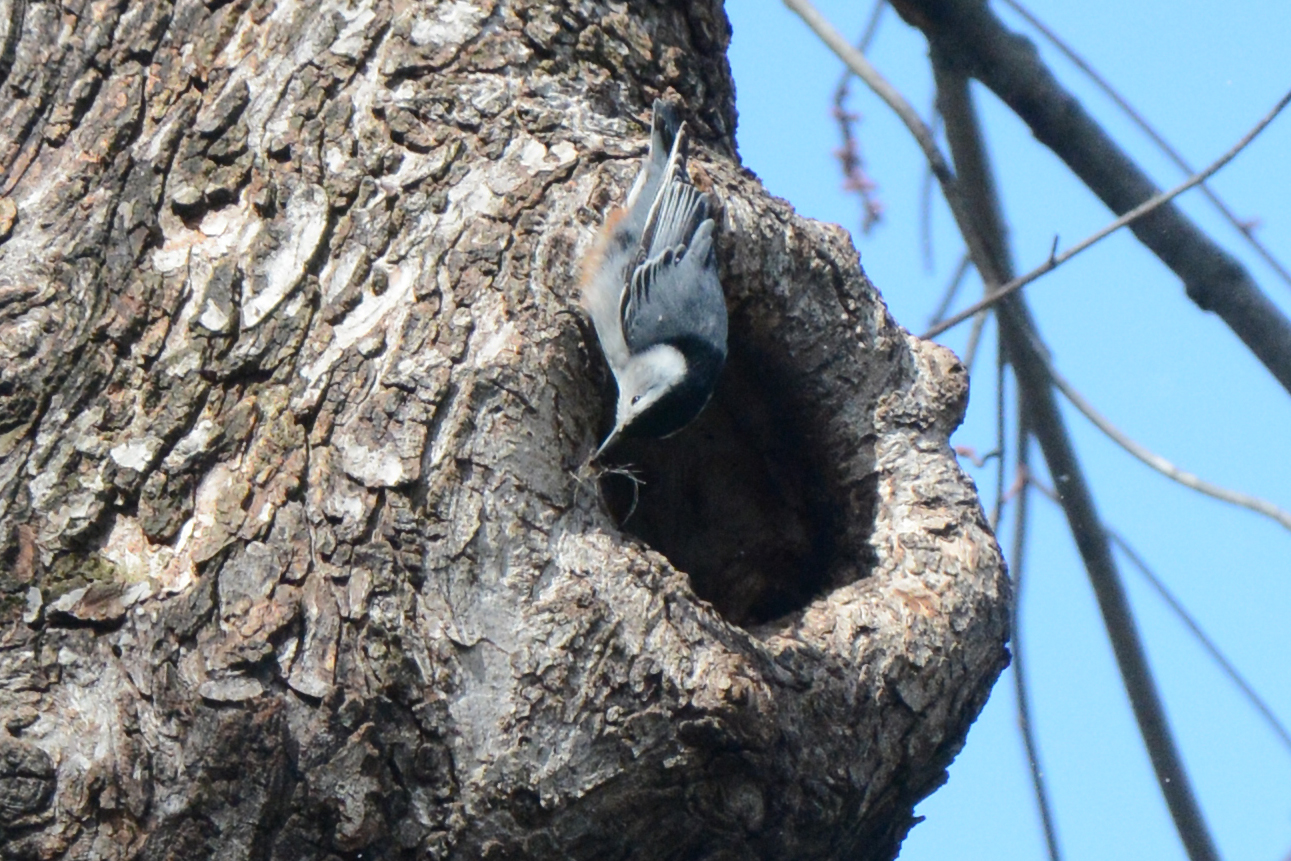 2016-04-02_backyard_nuthatch3-grass