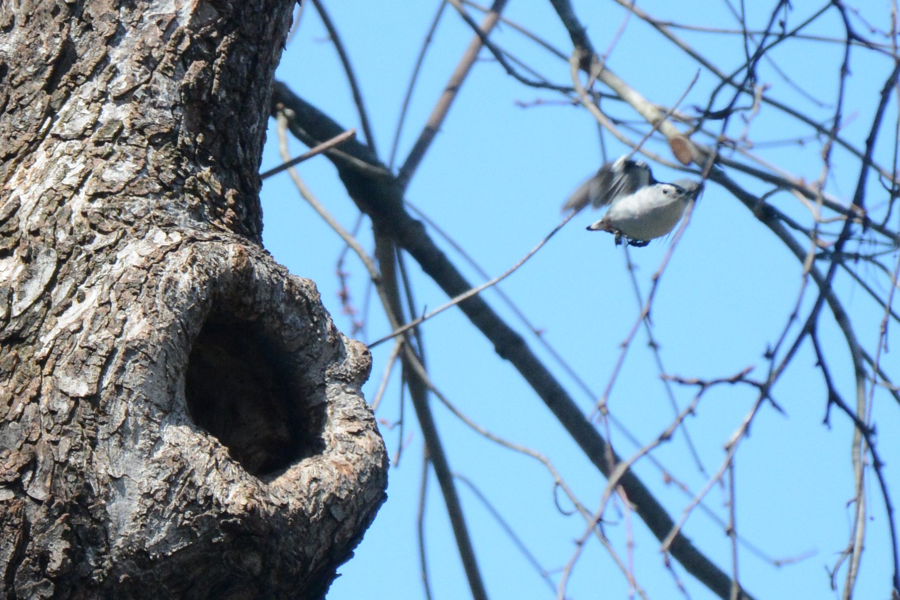 2016-04-02_backyard_nuthatch4-fly