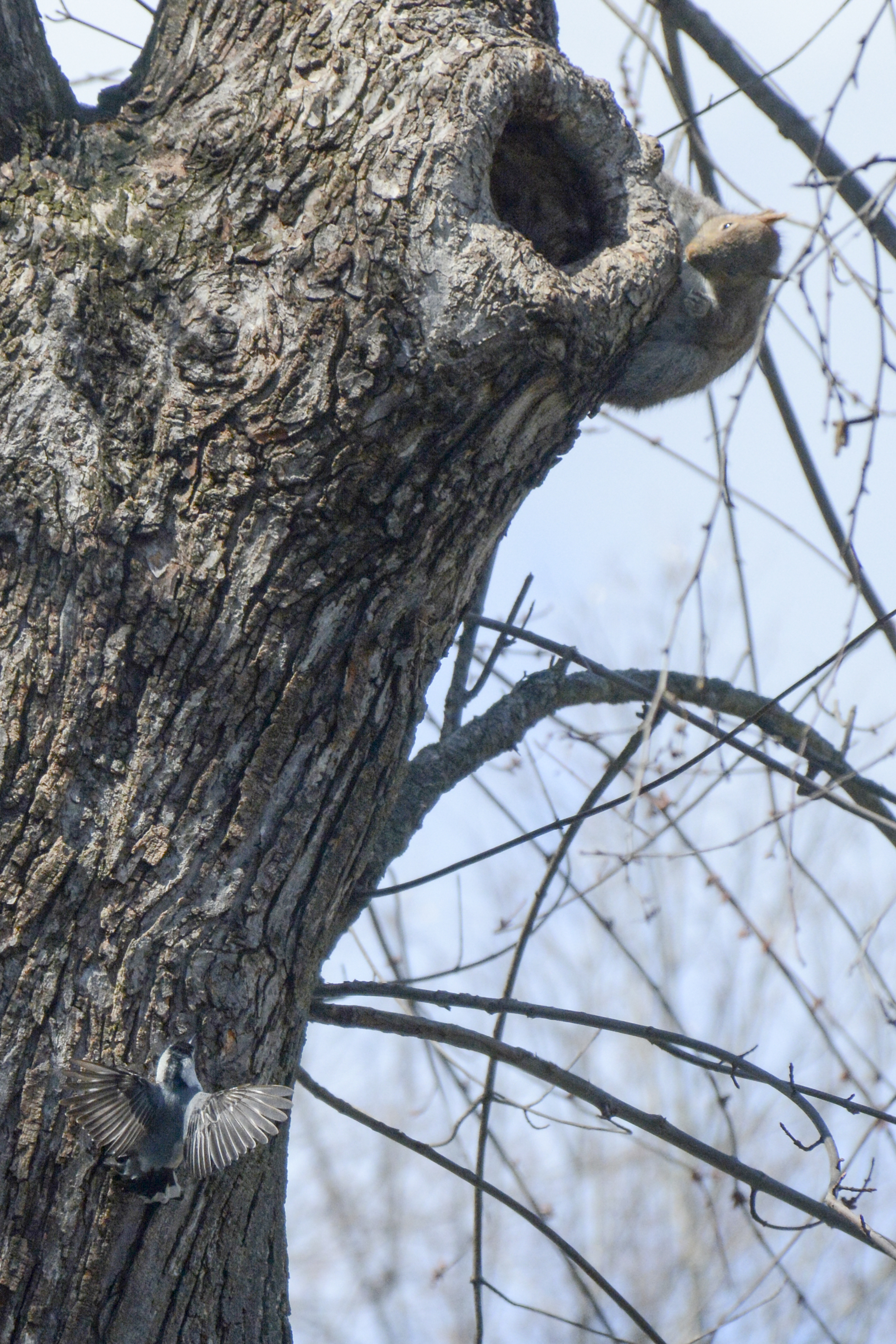 2016-04-02_backyard_nuthatch7-squirrel-climb