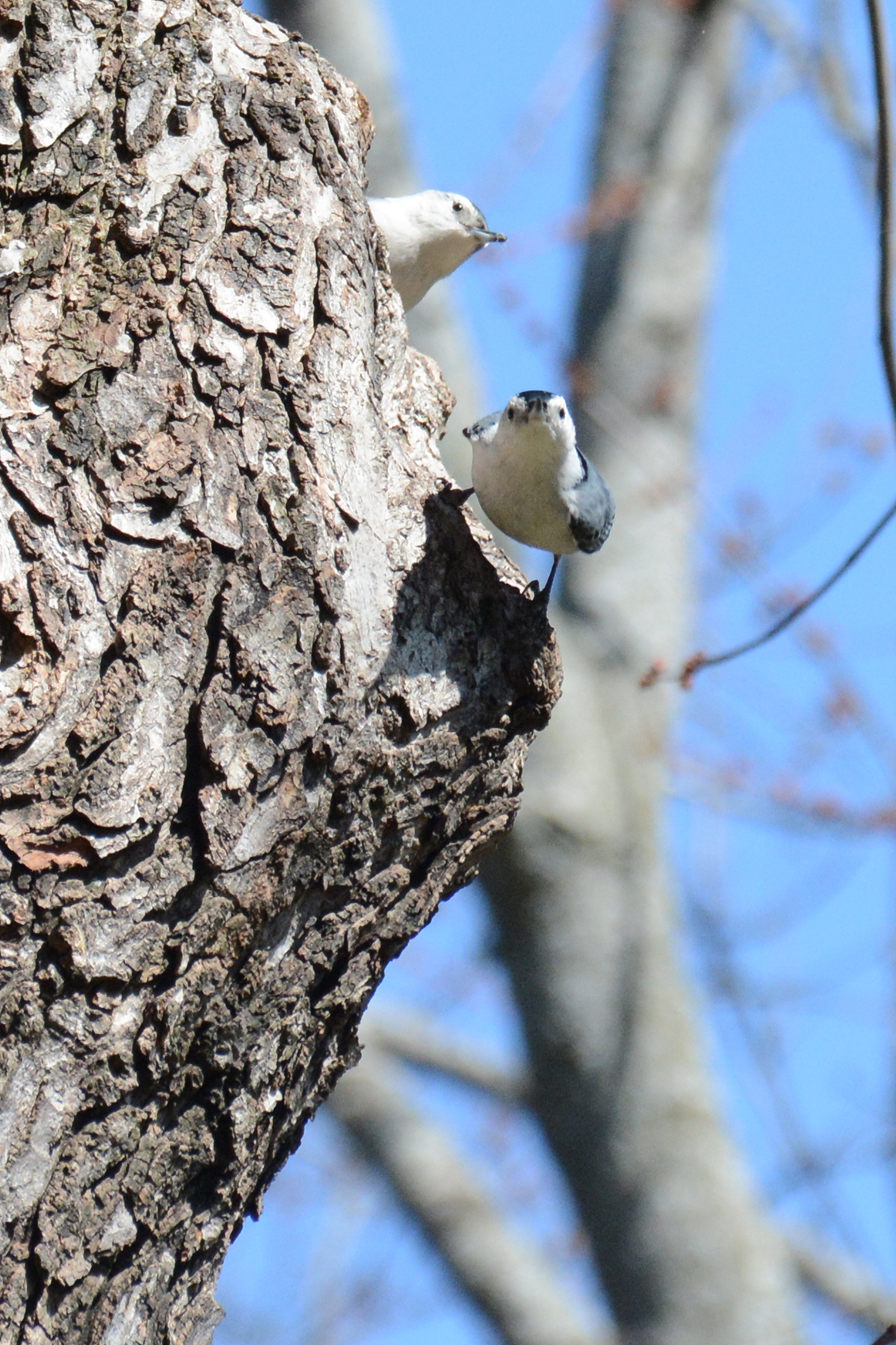 2016-04-03_backyard_nuthatches1