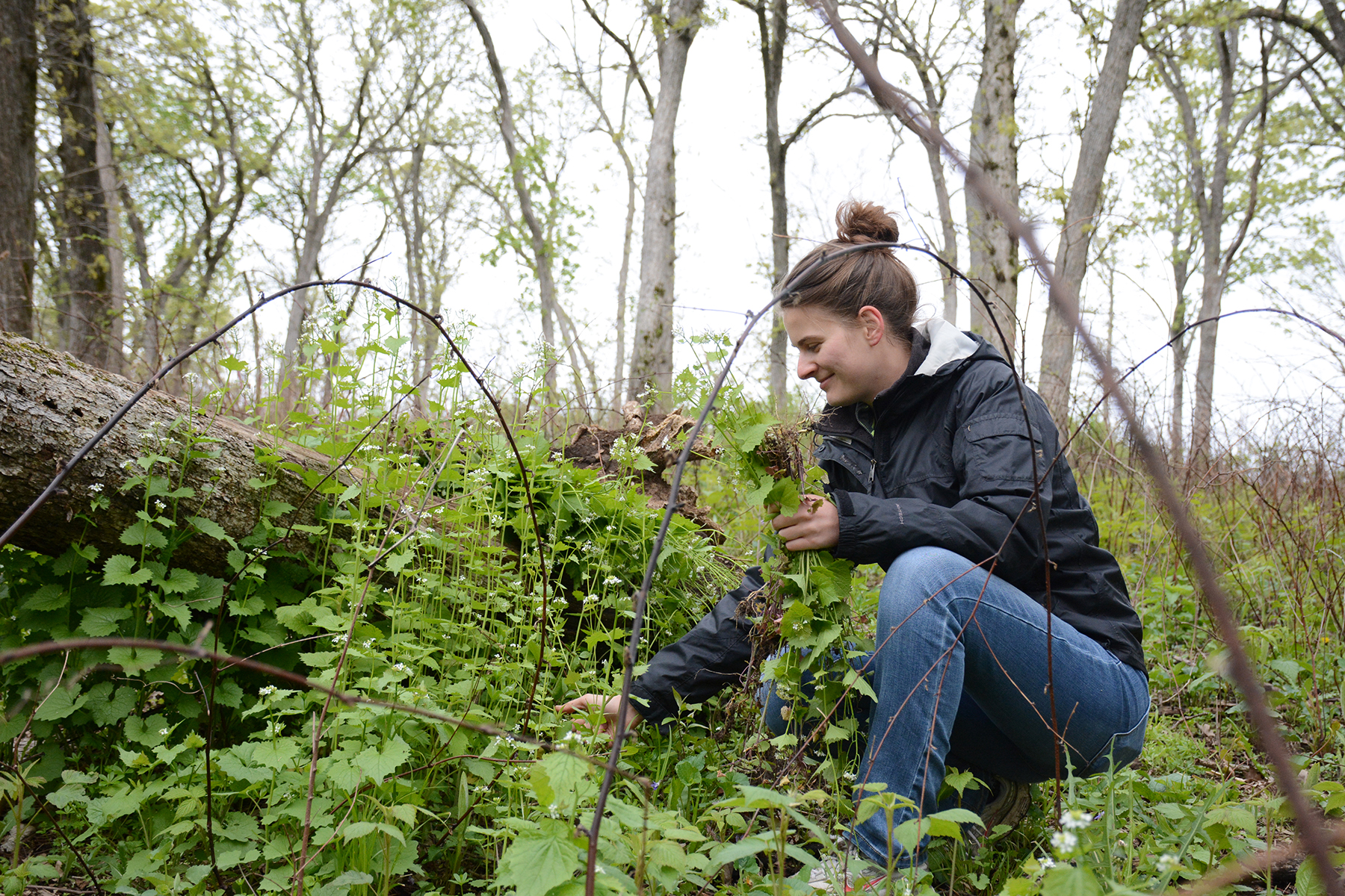 Krysta Koralesky pulls invasive garlic mustard near a fallen tree during a volunteer work day at Muehllehner Addition - Barneveld Prairie, Wis. May 14, 2016.