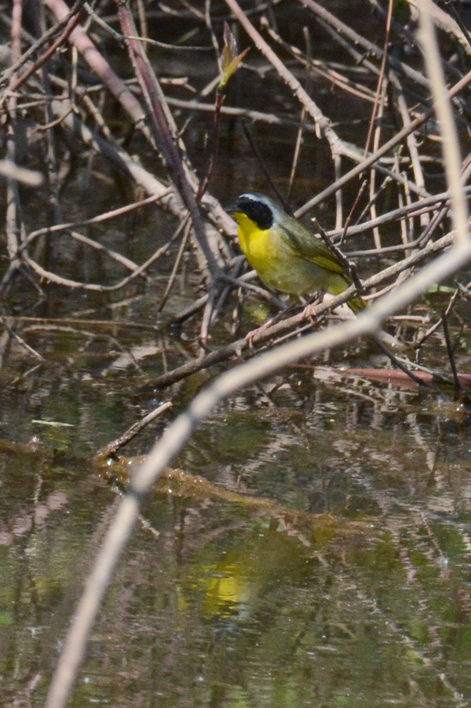 2016-05-21_naturefest-yellowthroat