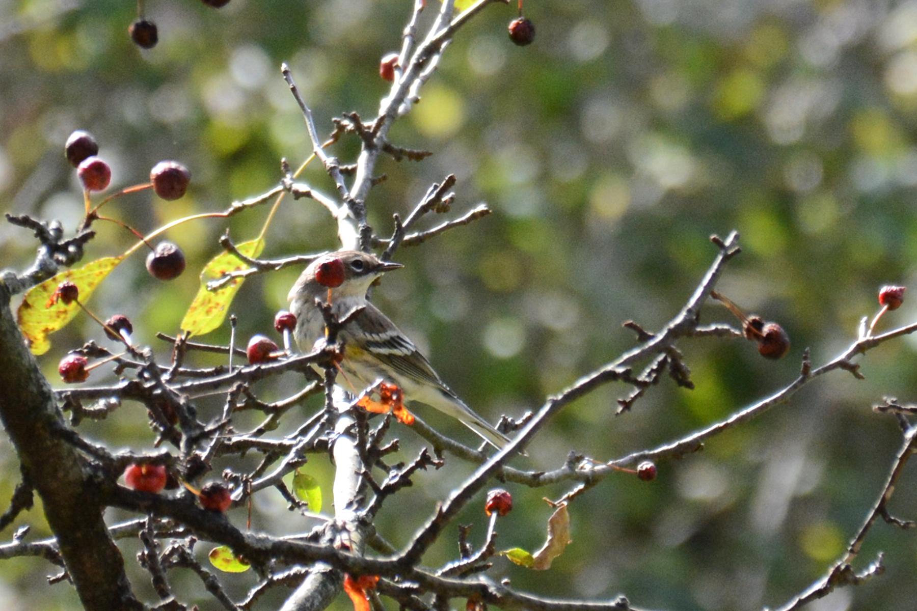 2016-10-14-arboretum-femaleyellow-rumpedwarbler2