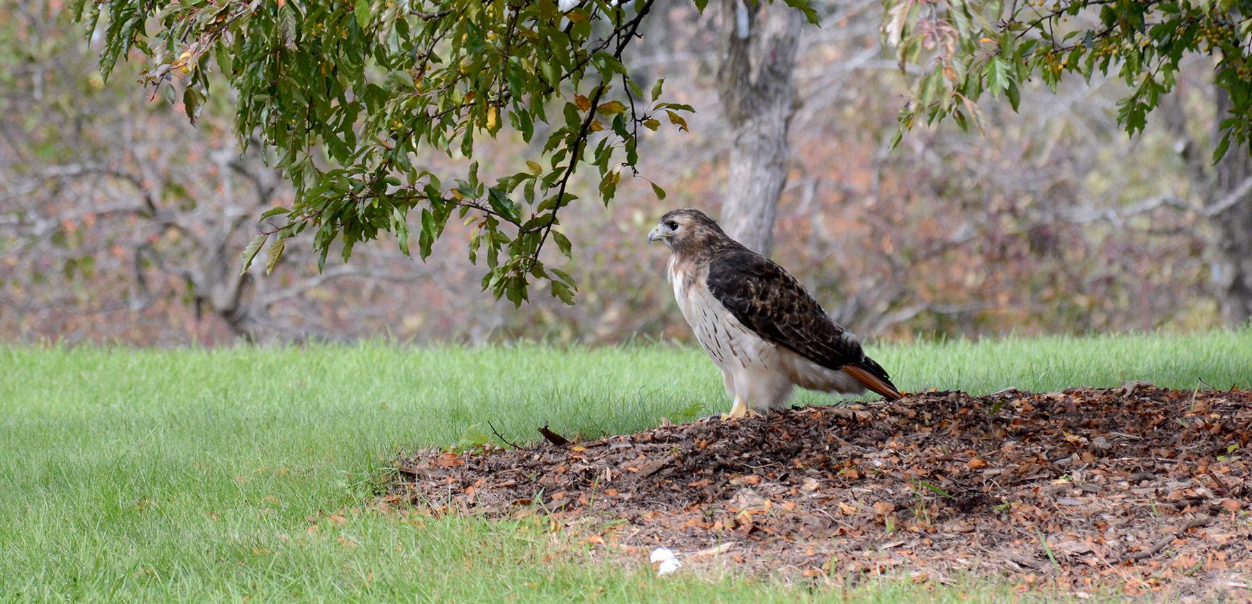 Arboretum –Hawk Rescue