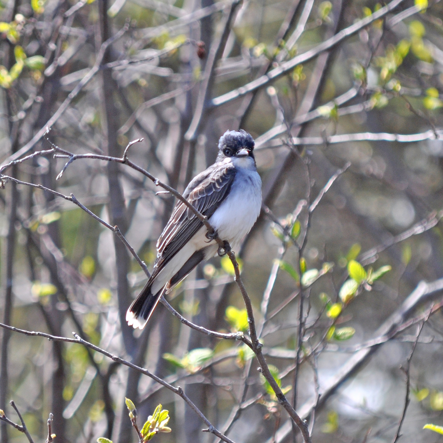 2015-05-13_bird_kingbird