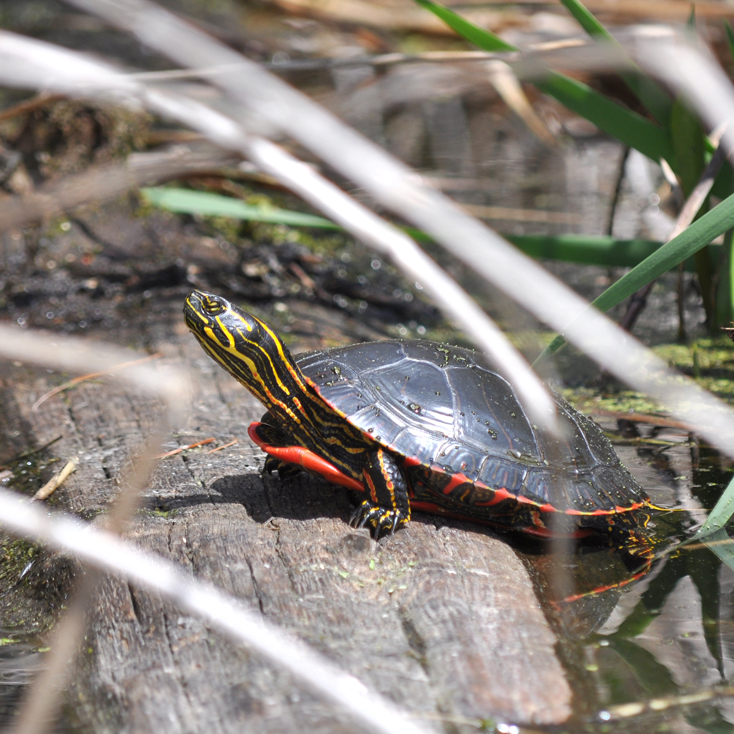 2015-05-13_bird_paintedturtle