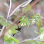 2015-05-14_bird-seacaves_hummingbird1