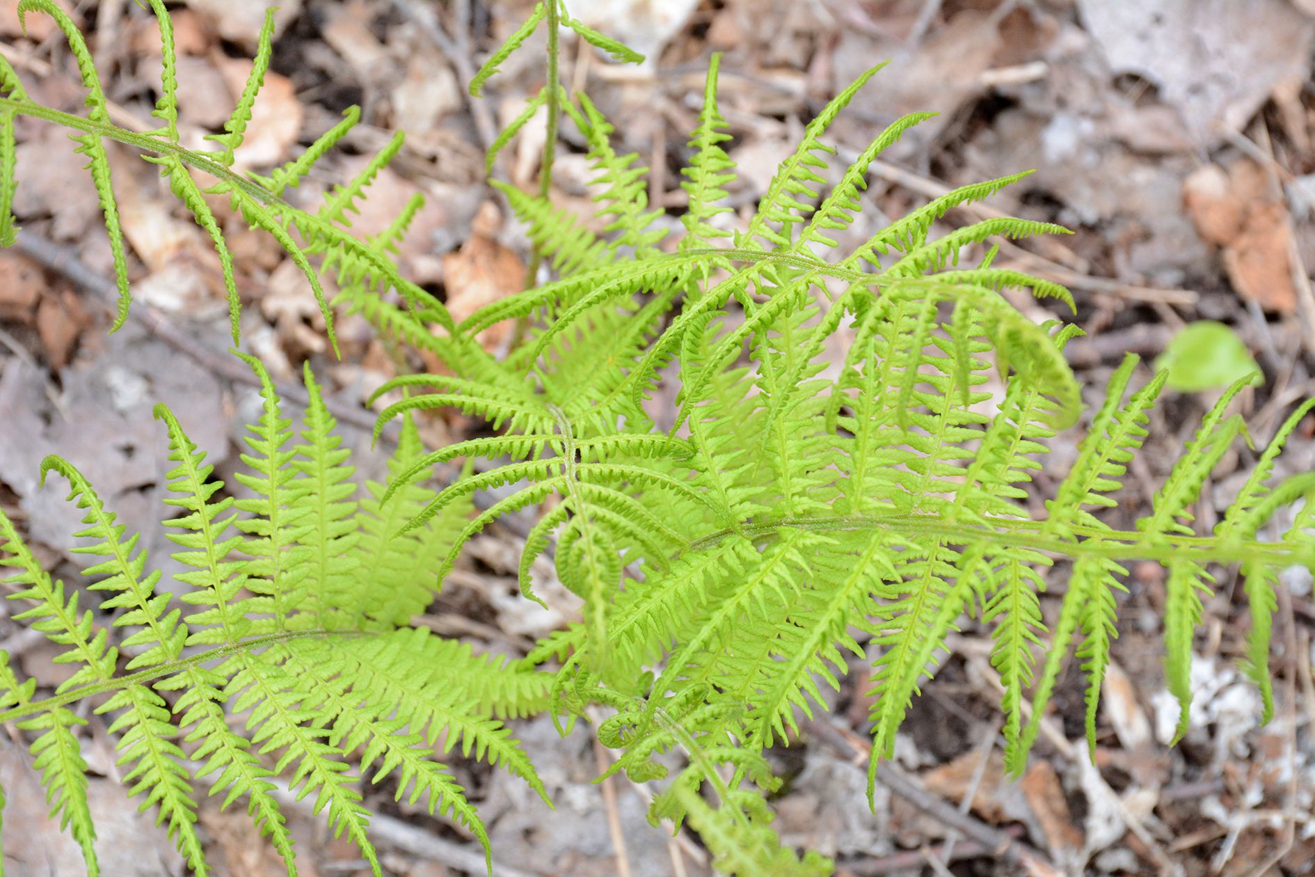2015-05-14_bird_morganfalls-fern