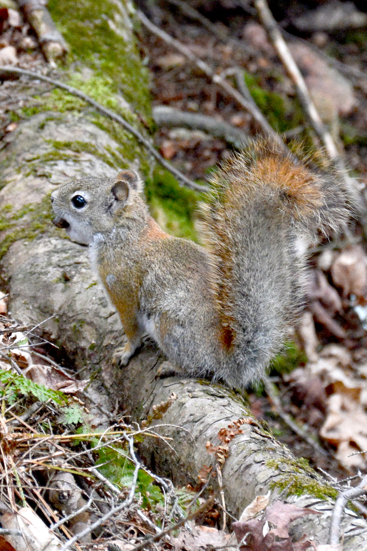 2015-05-14_stpetersdome_squirrel