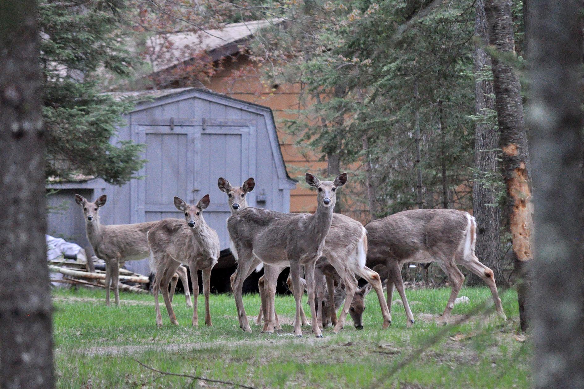 2015-05-16_cabin_deer2