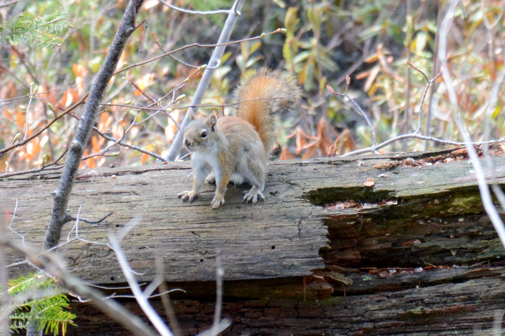 2015-05-16_stocktonisland_squirrel