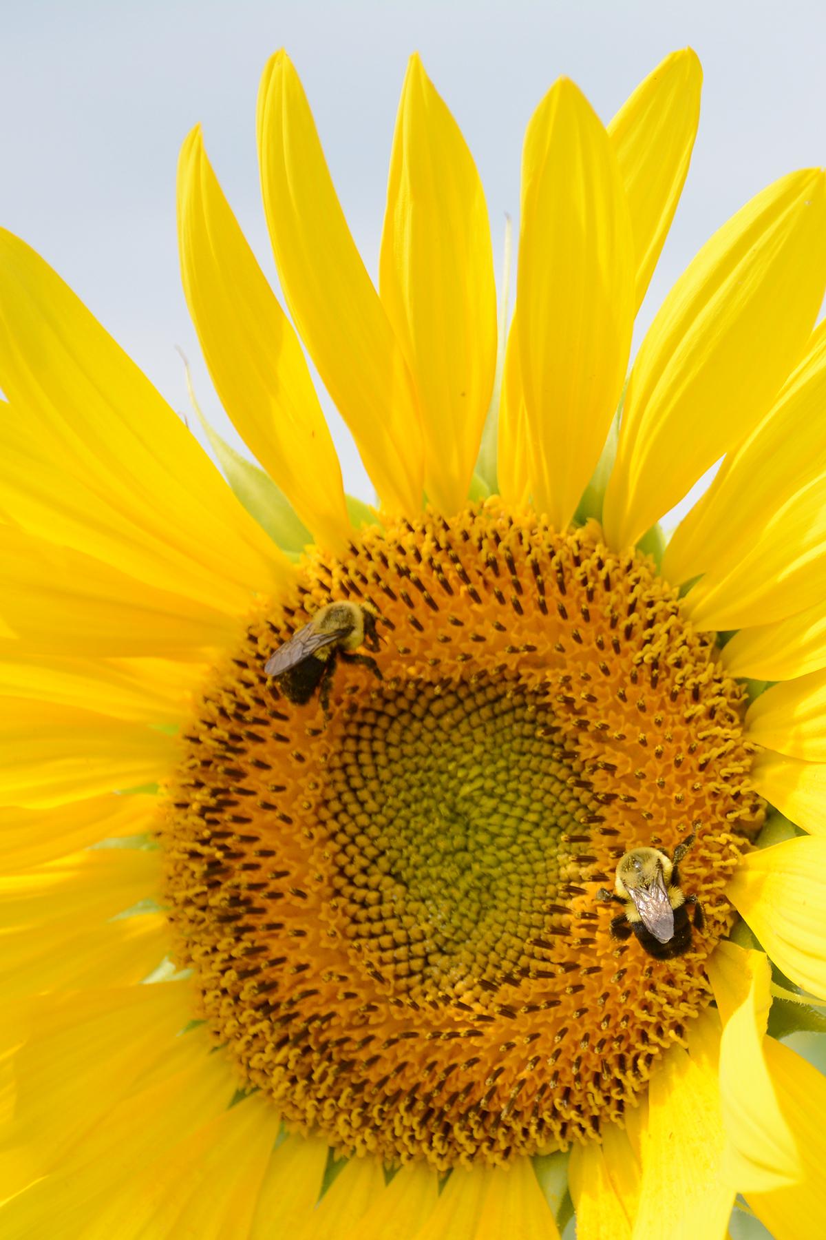 2015-08-07_Sunflower12