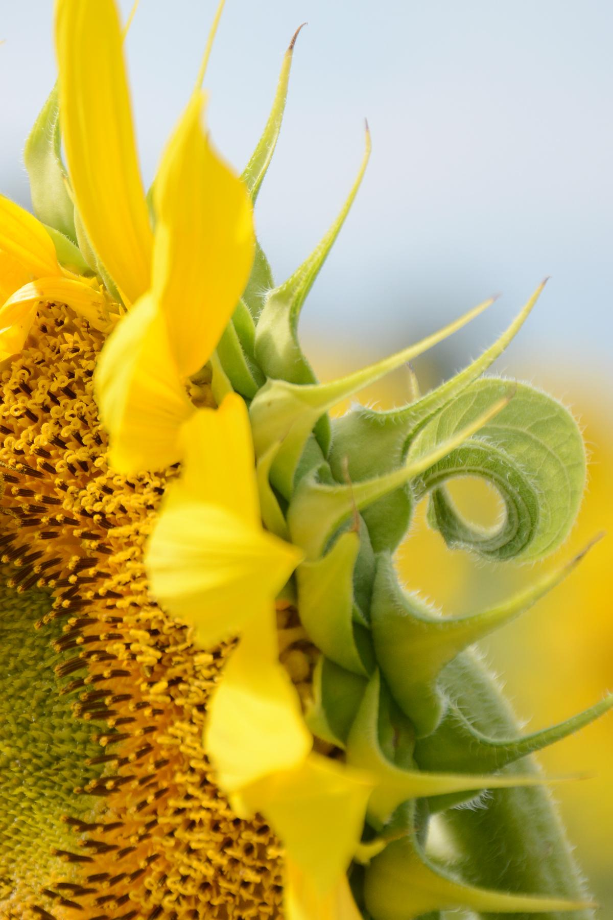 2015-08-07_Sunflower15