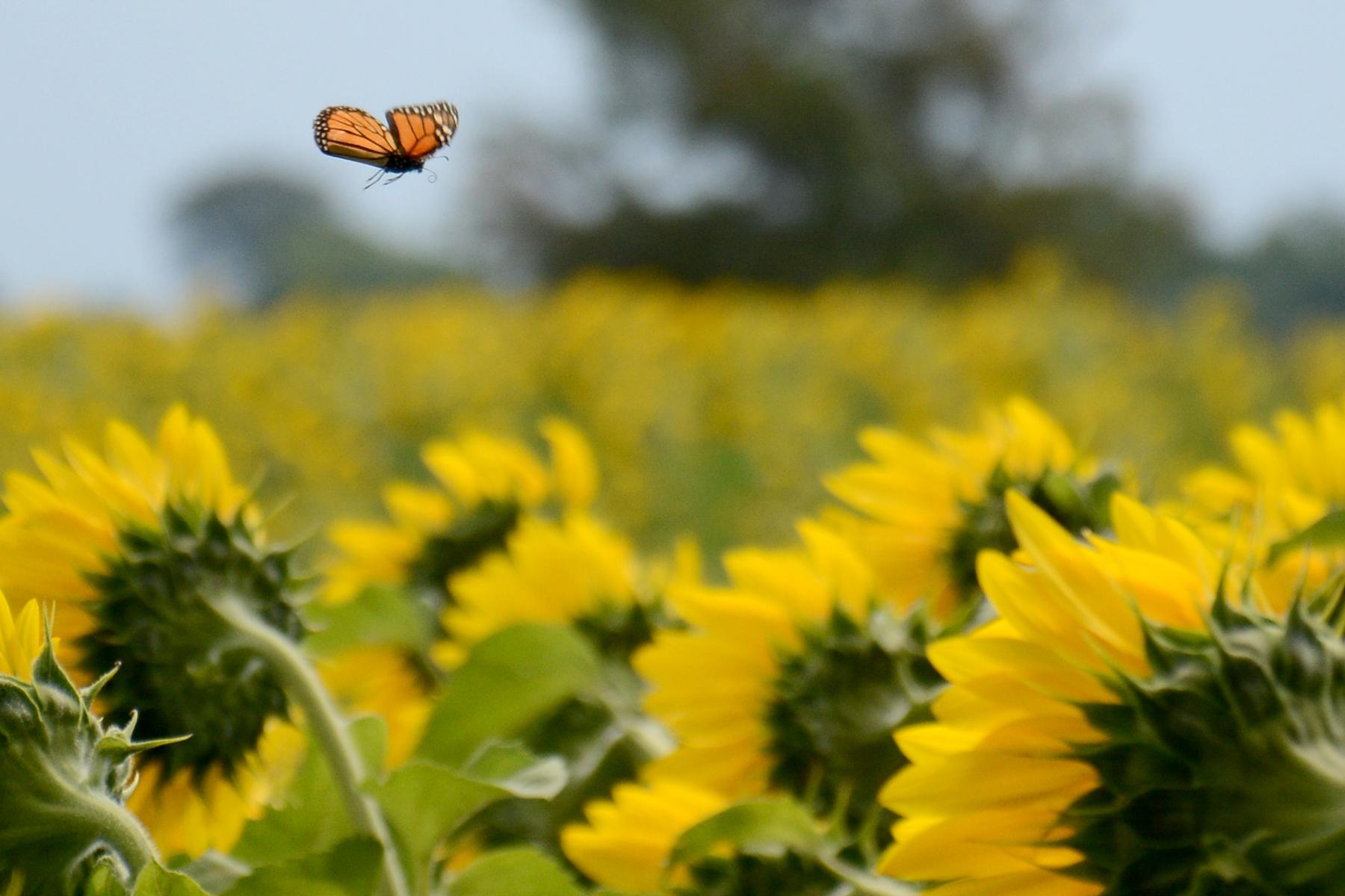 2015-08-07_Sunflower3