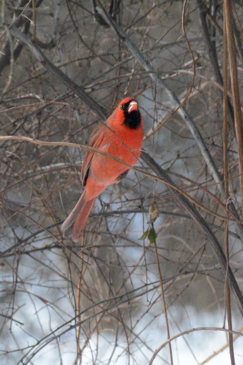 2016-01-20_cardinal2