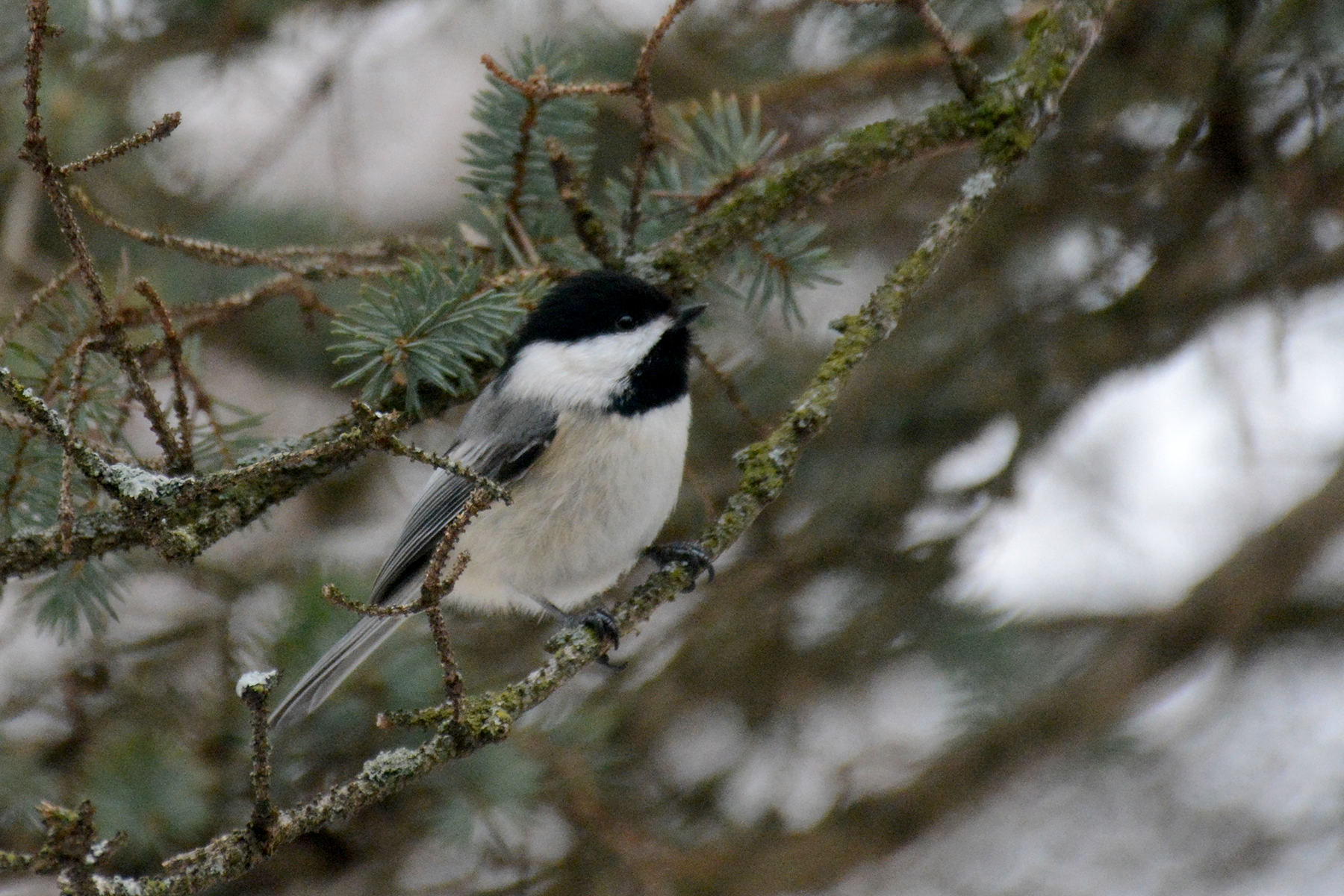 2016-03-05_backyard-chickadee2