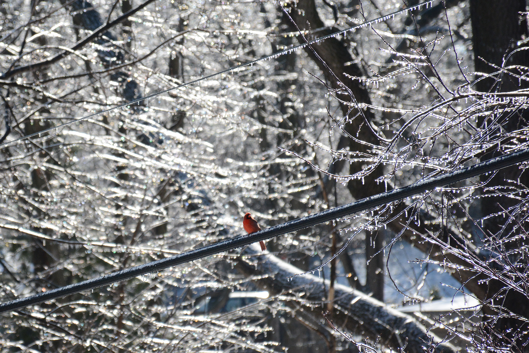2016-03-25_backyard_icemelt-cardinal