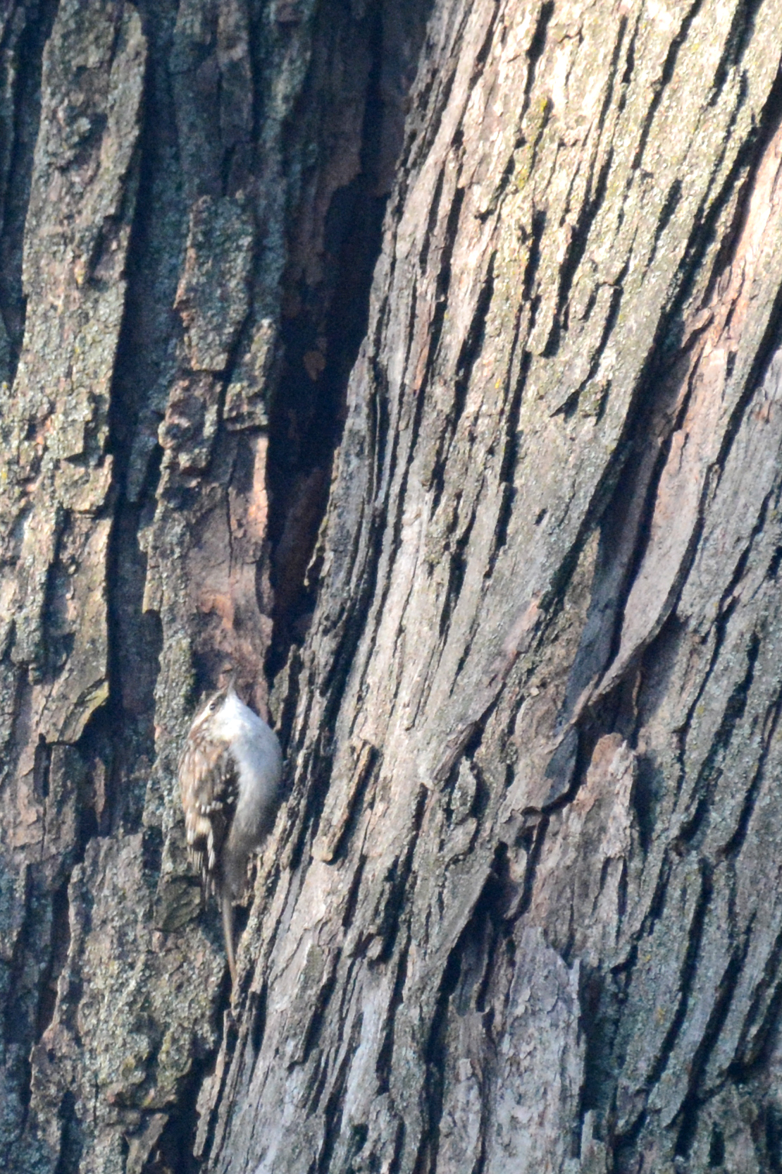 2016-04-14_backyard-browncreeper