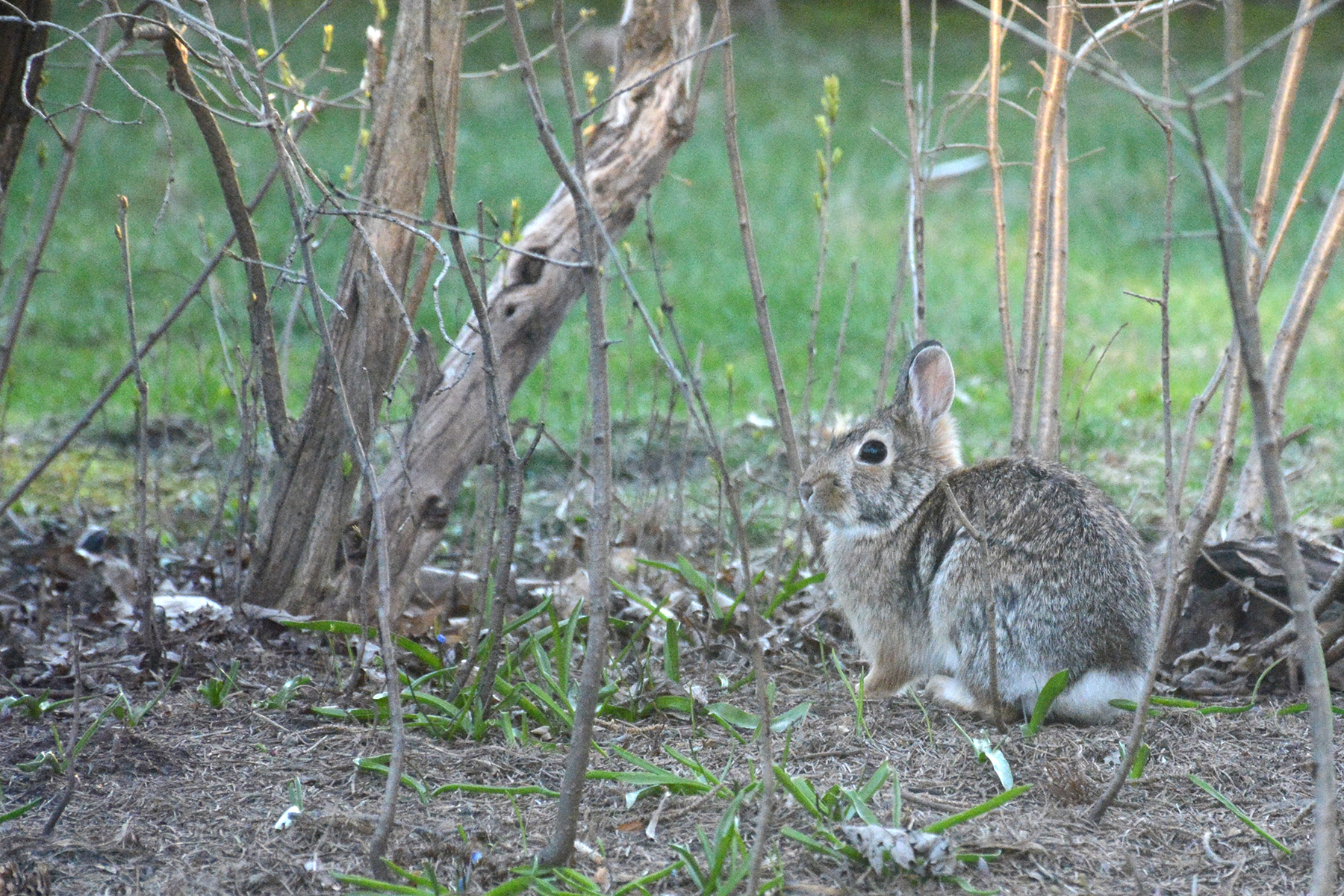 2016-04-16_backyard-bunny