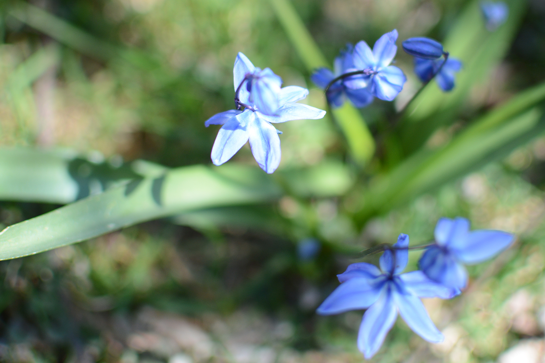2016-04-17_backyard-flower-bluebell