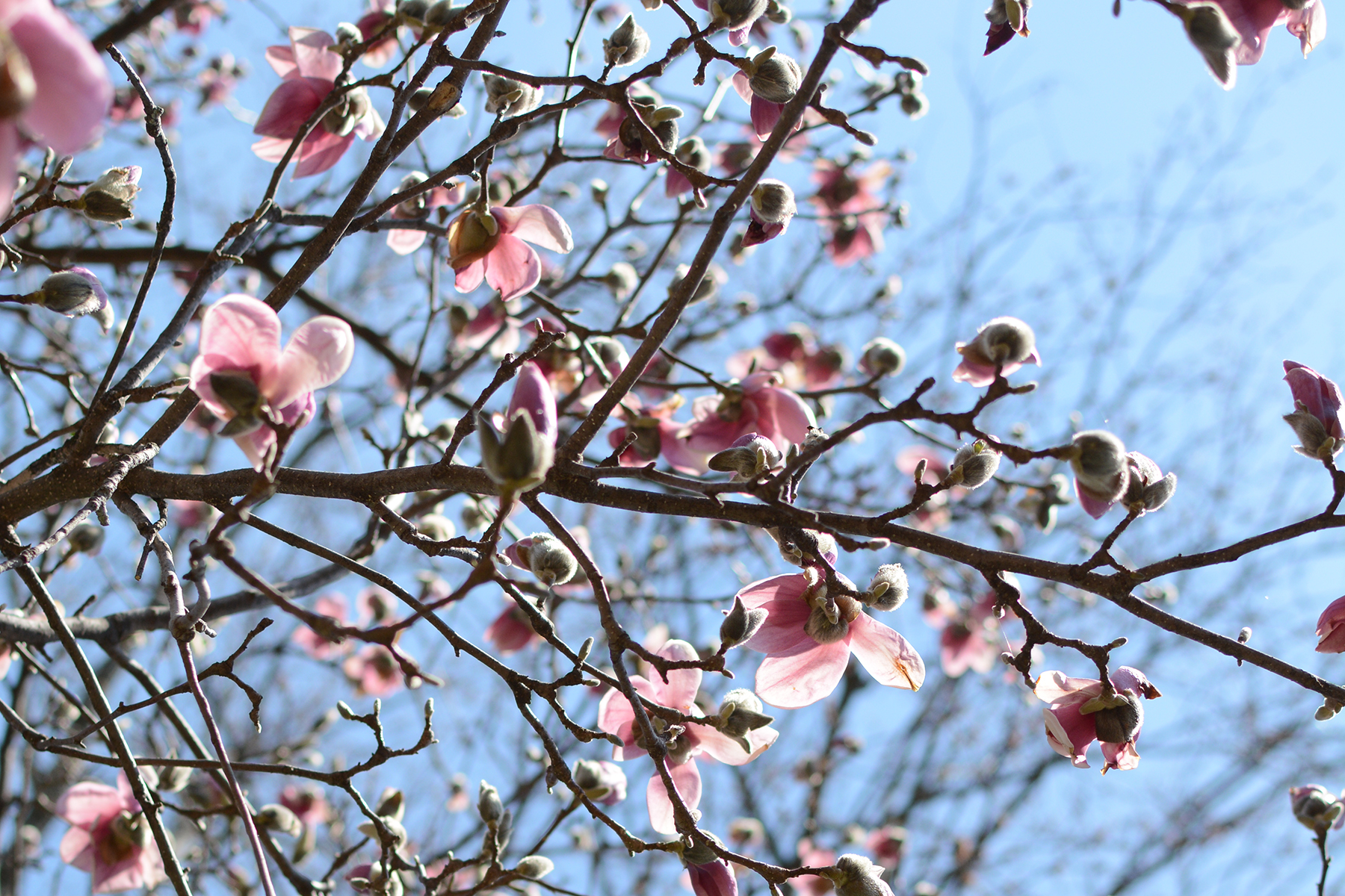 2016-04-17_backyard-tree-magnolia1