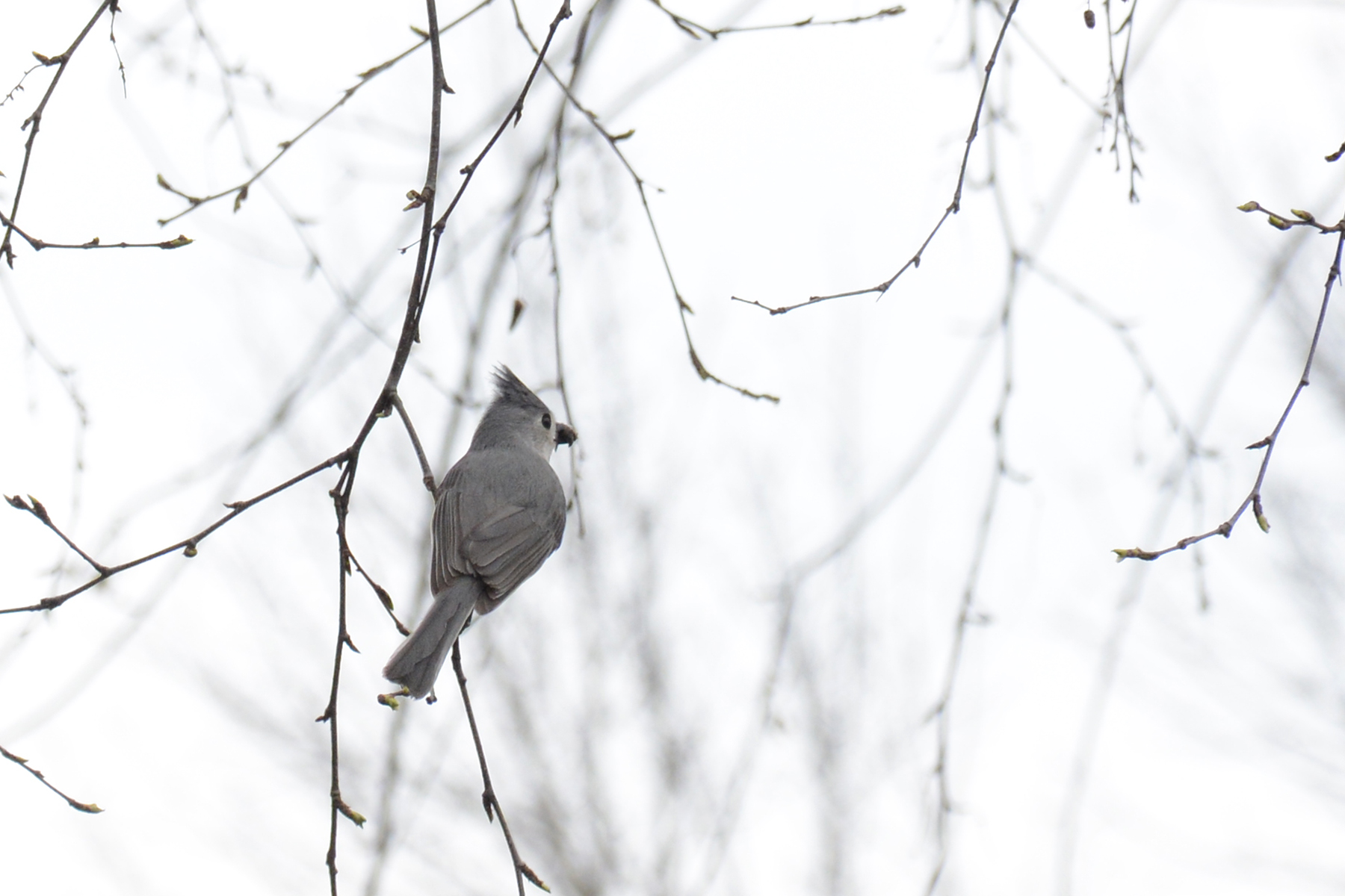 2016-04-20_backyard-birds-titmouse1