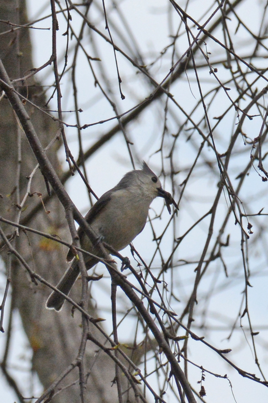 2016-04-20_backyard-birds-titmouse2
