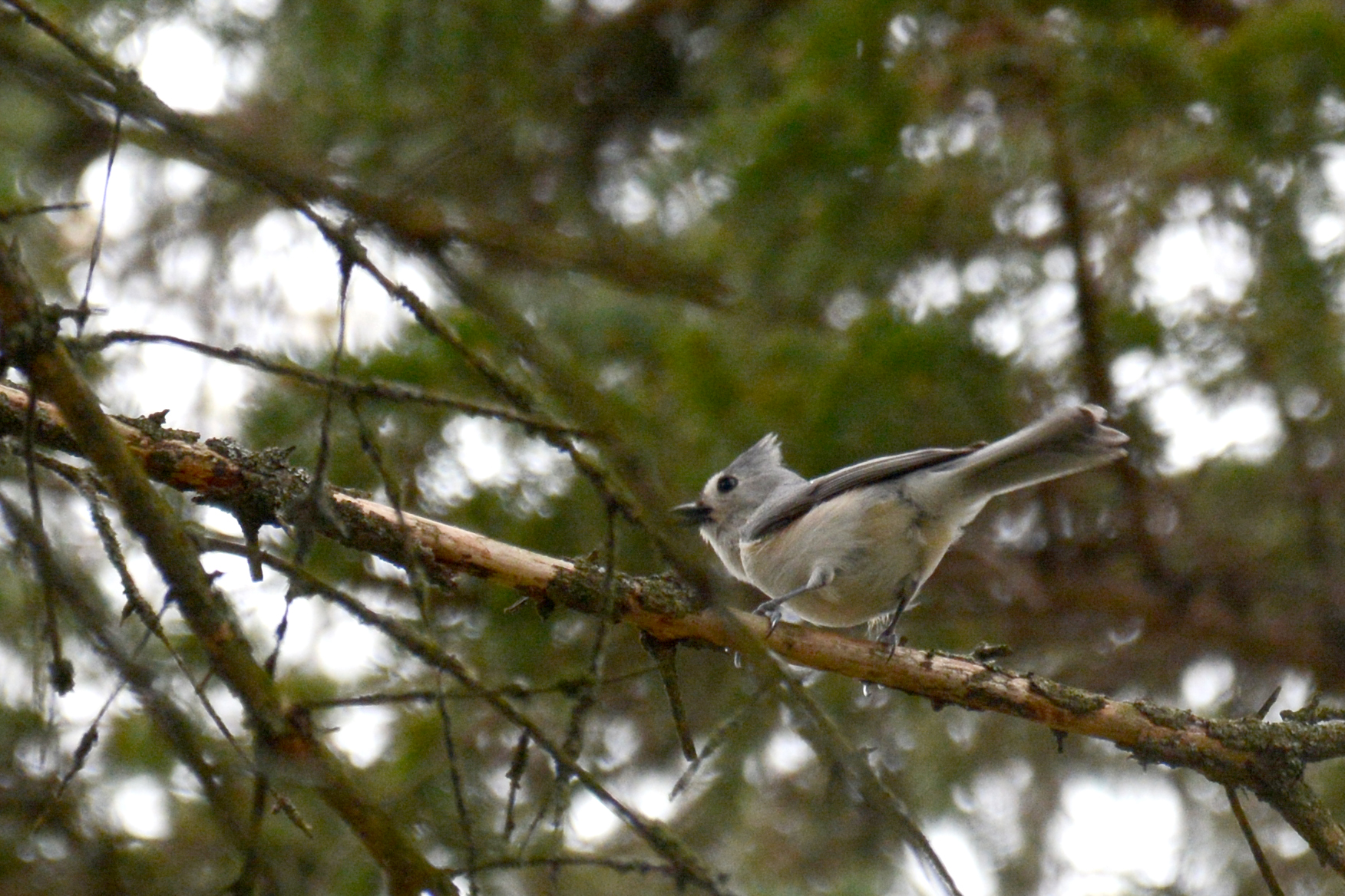 2016-04-20_backyard-birds-titmouse3