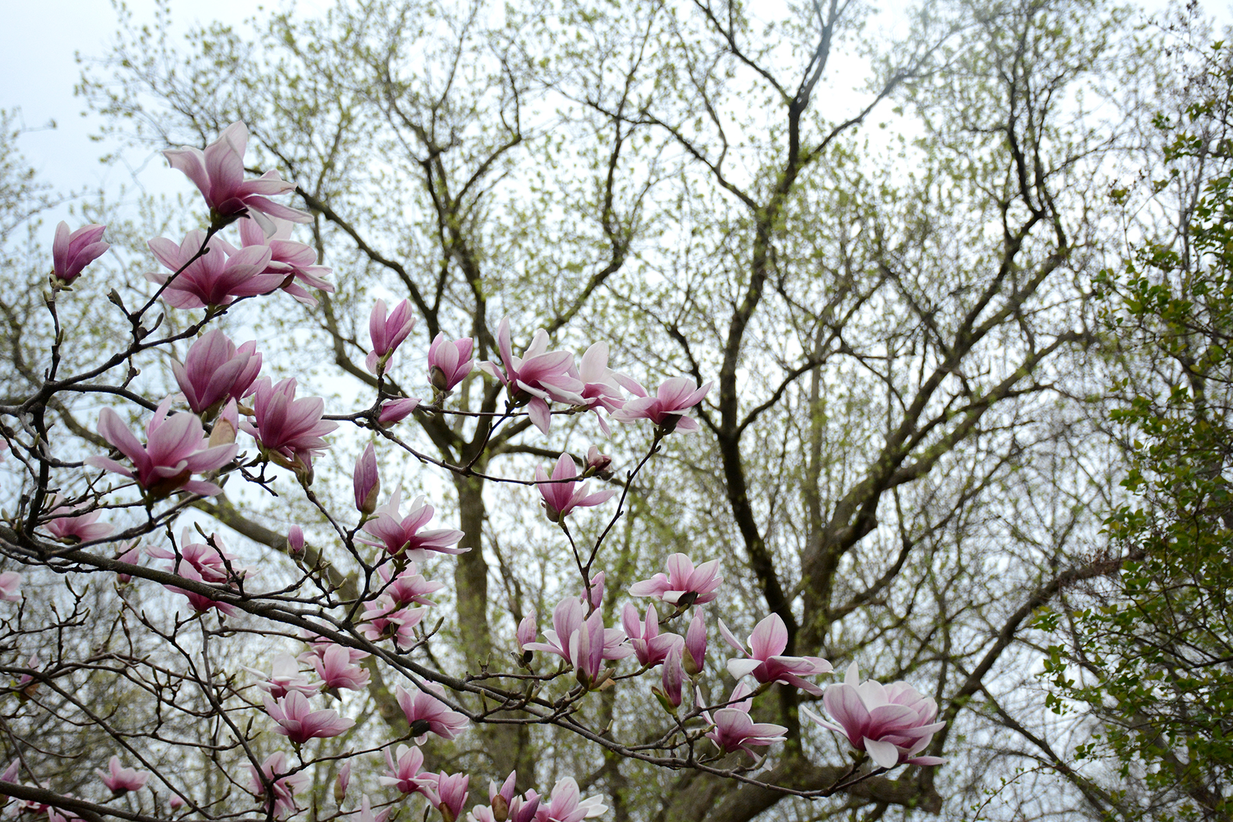 2016-04-20_backyard-tree-magnolia