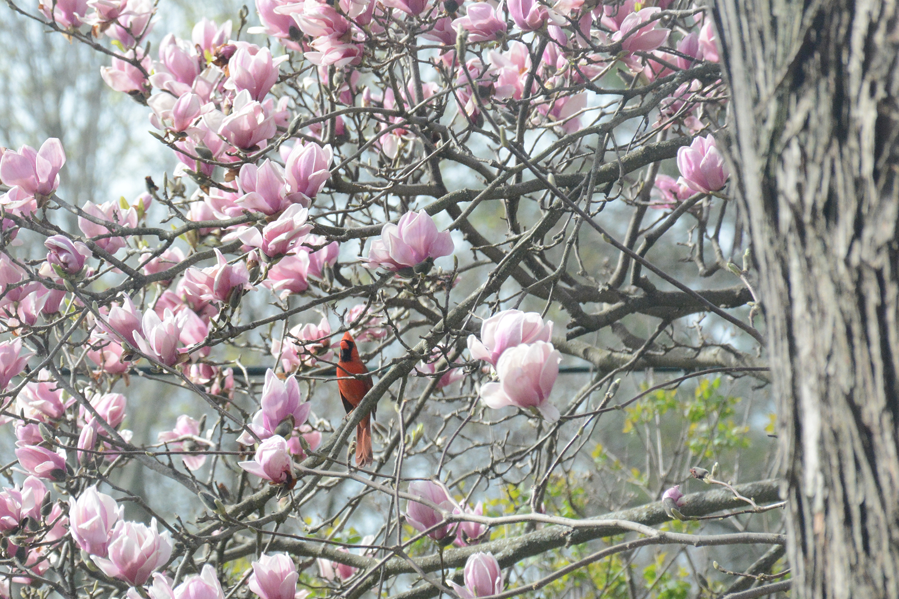 2016-04-21_backyard-bird-cardinal1