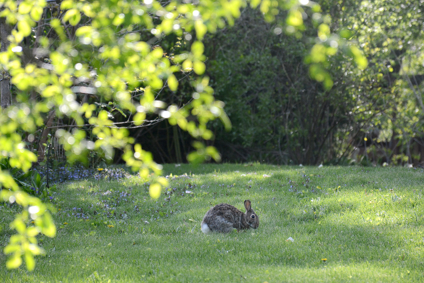 2016-05-05-backyard-bunny